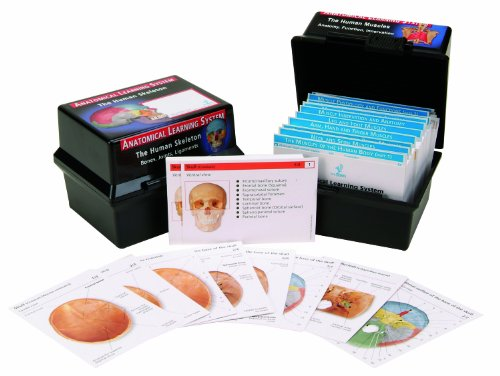 3B Scientific W11503 The Muscular System Human Anatomy Flash Cards (Muscular System Model compare prices)