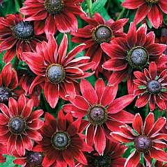 Cherry Brandy Rudbeckia: 90+ Seeds ((Fresh & Untreated, Perennial)