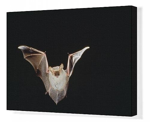 esser long-eared Bat