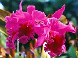 Cattleya Orchid Starter Plant 3 Plants No Bloom #LL110 by Discount Hawaiian Gifts