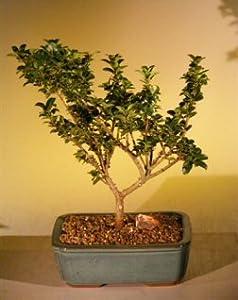 Bonsai Boy's Dwarf Japanese Holly Bonsai Tree ilex crenata 'green dragon'
