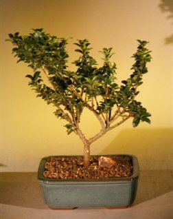 Bonsai Boy's Dwarf Japanese Holly Bonsai Tree ilex crenata 'green dragon'