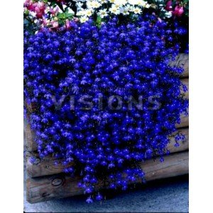 Amazon.com : The Dirty Gardener Lobelia Erinus Half Moon Flowers - 200