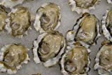 Fresh LIVE Cocktail Oysters in the Shell