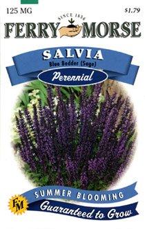 Ferry-Morse Perennial Flower Seeds 1133 Salvia - Blue Bedder (Sage) 125 Milligram Packet