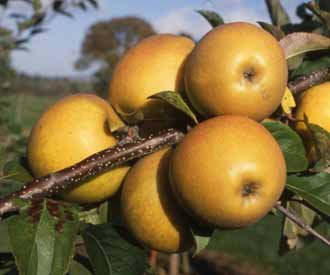 self-fertile-russet-apple-tree-herefordshire-russet-for-pots-or-small-gardens