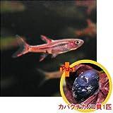 熱帯魚 ボララス ブリジッタエ5匹とカバクチカノコ貝1匹のセット