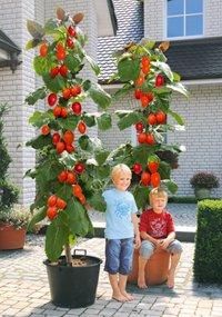 wo kann ich einen tomatenbaum kaufen garten pflanzen. Black Bedroom Furniture Sets. Home Design Ideas