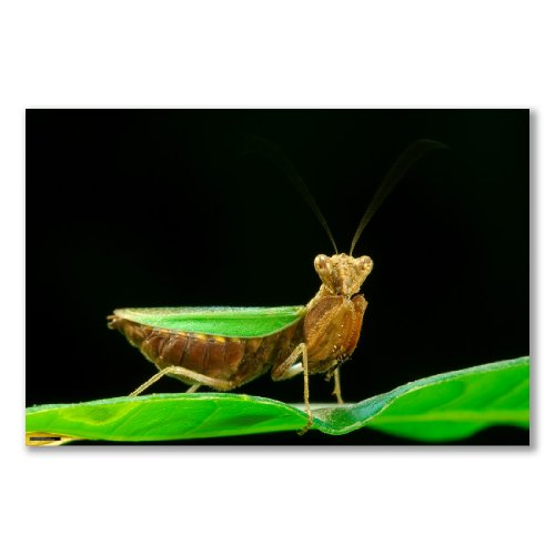 Kunstdruck Poster, Motiv: INDIAN MANTIS EPHESTIASULA SP Insekten Insektenhotel-Blatt, A1 maxi, 61 91,5 cm x 24 x 36 cm, semi-glänzendes satin-Papier