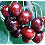 3 N 1 Cherry Tree - With 3 of These Varieties (Black Tartarian, Bing, Stella and Rainier
