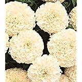 AFRICAN MARIGOLD F1 HYBRID WHITE VANILLA FLOWER SEEDS BY KRAFT SEEDS [PACK OF 5]
