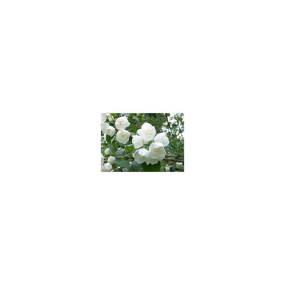 Bauernjasmin   Belle étoile   Kräftige Pflanzen im 5lt Container