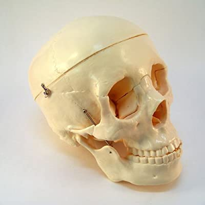 Life Size Model Human Skull from MHB