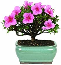Brussel's DT3066AZ Satsuki Azalea Outdoor Bonsai Tree