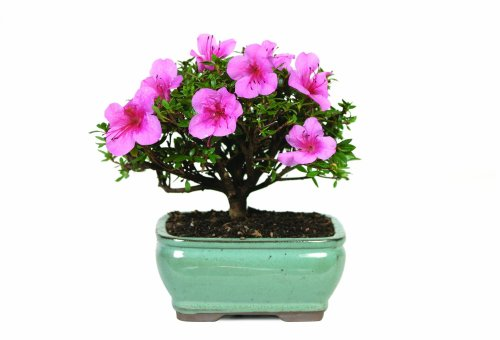 Brussels DT3066AZ Satsuki Azalea Outdoor Bonsai Tree