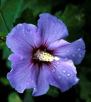 Blue Satin Hibiscus Rose of Sharon - BEST BLUE HIBISCUS