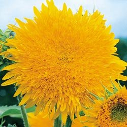Sunflower Giant Sungold - Park Seed Sunflower Seeds - Buy Sunflower Giant Sungold - Park Seed Sunflower Seeds - Purchase Sunflower Giant Sungold - Park Seed Sunflower Seeds (Park Seed, Home & Garden,Categories,Patio Lawn & Garden,Plants & Planting,Outdoor Plants,by Moisture Needs,Little-to-No Watering)