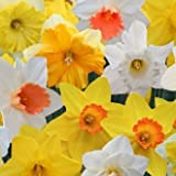 Olive Grove 25kg Bulk Bag Mixed Daffodil Narcissus Spring Flowering Garden Bulbs (Approx 300)