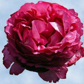 premium-hot-pink-garden-roses-72-yves-piaget-garden-roses
