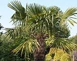 Chusan palm (Trachycarpus fortunei )