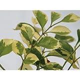 シマトネリコ(斑入り) 洋風ガーデン 植木 苗木 常緑低木