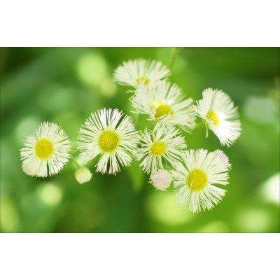 【花のポストカードAIR】白いヒメジョオン(姫女苑)