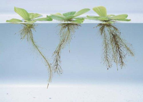 water-lettuce-5-10-15-dwarf-mini-live-aquarium-floating-plant-5-water-lettuce-plants