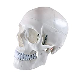 Wellden Medical Anatomical Human Skull Model High Quality, Classic, 3-part, Life Size