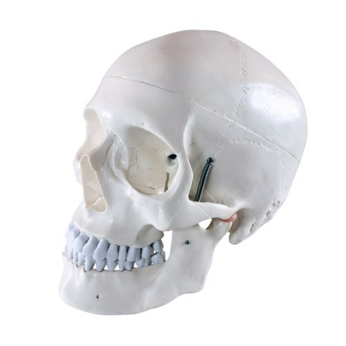 s242103-schadel-modell-fur-anatomieunterricht-3-teilig