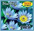 Blue Bird Tropical Water Lily