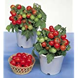Seeds Small Red Cherry Tomato Lycopersicon Hybrid Vegetable Pack Of 30 Sold By Seedscare India