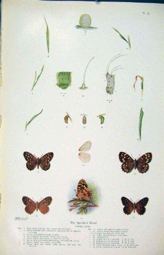 impresion-antigua-del-ciclo-de-madera-manchado-de-la-mariposa-del-gusano-de-la-larva-de-insecto-