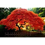 Seeds and Things Maple Amur (Acer Ginnala Flame) Nice Garden Tree 10+ Seeds - Small Maple with Spring and Fall Appeal