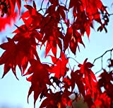 Japanese Red Maple Tree (2-3 feet tall in trade gallon containers)
