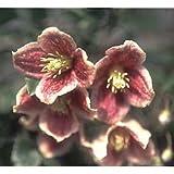 クレマチス:日枝(ヒエ)4.5号ポット[2年生苗](冬咲き・シルホサ系)