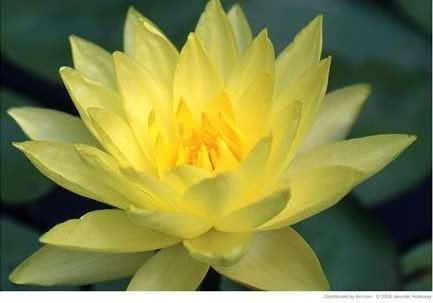 10 Yellow Lotus (Sacred Water Lily / Lily Pad / Asian Water Lotus) Nymphaea Ampla Flower Seeds