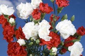 Christmas Color Spray Carnations 300