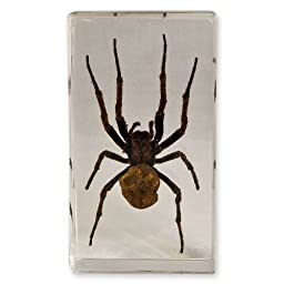 Spider in Acrylic Display