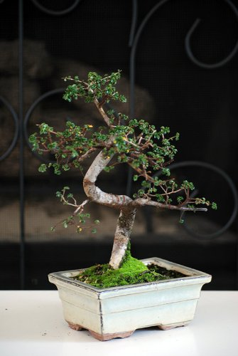 9GreenBox Chinese Bonsai Years Ceramic