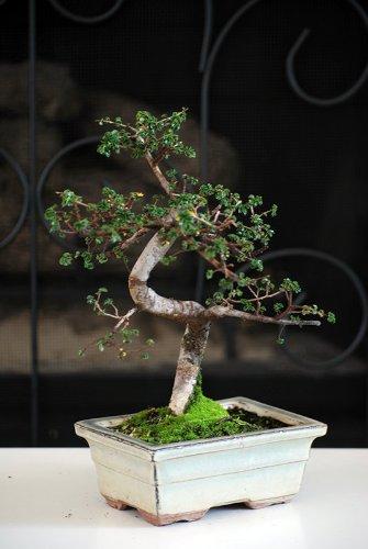 9GreenBox Chinese Bonsai Years Ceramic
