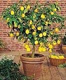 1-2 Year Old Improved Meyer Lemon Citrus Tree in Grower's Pot (CAN'T SHIP TO CA, AZ, TX,LA, HI AK OR FL)