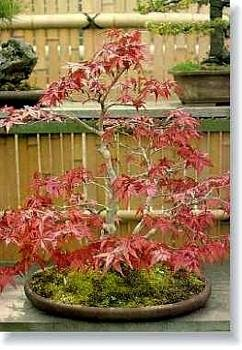 Buy Burgandy Lace Japanese Maple 7 Seeds – Acer – Bonsai – FREE SHIPPING ON ADDITIONAL HIRTS SEEDS