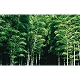 BAMBOU GEANT MOSO (Phyllostachys Pubescens) 10 graines