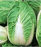 CHINESE CABBAGE MICHIHILI NAPA 499 + SEEDS FRESH PACK