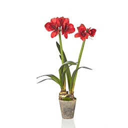 Sage & Co. EPF17471RD Fleur Double Amaryllis Potted Bulb, 36 in.