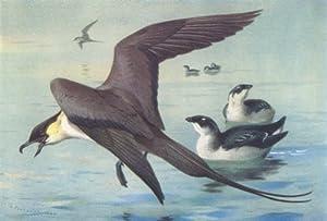 BRITISH BIRDS: Long-Tailed Skua; Little Auk (winter) . THORBURN; print 1926