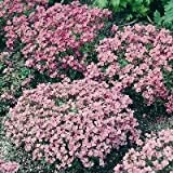 KINGS SEEDS Alyssum Rosie O Day