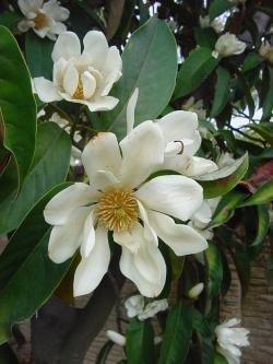 Michelia Magnolia doltsopa 2 seeds!rare!