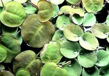 20-x-phyllanthus-fluitans-floating-plant-against-algae