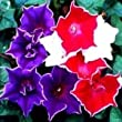 25+ Kikyo-Zaki Mix Morning Glory Seeds
